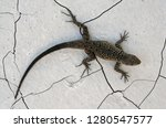 small scaled lizard or baja... | Shutterstock . vector #1280547577