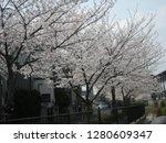 japanese spring poetry  cherry... | Shutterstock . vector #1280609347