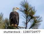 a majestic american bald eagle... | Shutterstock . vector #1280726977