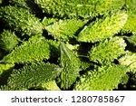 bitter melon is a vegetable... | Shutterstock . vector #1280785867