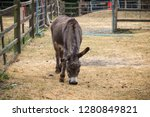 portrait of a grazing donkey at ...   Shutterstock . vector #1280849821