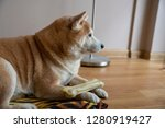 shiba in dog with bone on the... | Shutterstock . vector #1280919427