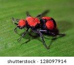 Hymenoptera  Velvet Ant
