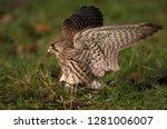 common kestrel bird of prey | Shutterstock . vector #1281006007