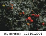 barbados cherry on the tree... | Shutterstock . vector #1281012001
