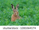Stock photo european brown hare in summer lepus europaeus germany europe 1281064174