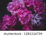 sweet pink roses in vintage... | Shutterstock . vector #1281116734