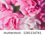 sweet pink roses in vintage... | Shutterstock . vector #1281116761