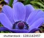 Purple  Almost Blue  Anemone...