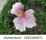 Hibiscus Hybrid Flower  Chines...
