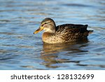 Portrait Of A Females Of Duck...
