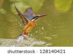 Common Kingfisher Catch Fish I...