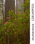 rhododendrons blooming with... | Shutterstock . vector #1281409531