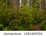 rhododendrons blooming with... | Shutterstock . vector #1281409534