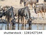 blue wildebeest drinking at a...   Shutterstock . vector #1281427144
