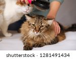 tabby cat lays and enjoys...   Shutterstock . vector #1281491434