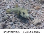 white spotted puffer on coral... | Shutterstock . vector #1281515587