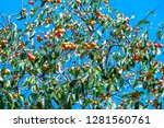 organic persimmon fruit on tree ... | Shutterstock . vector #1281560761