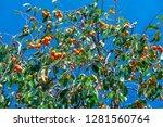organic persimmon fruit on tree ... | Shutterstock . vector #1281560764
