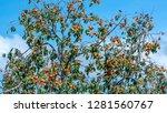 organic persimmon fruit on tree ... | Shutterstock . vector #1281560767