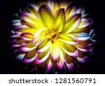 a yellow and pink dahlia on a... | Shutterstock . vector #1281560791
