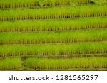 terraced rice field in northern ... | Shutterstock . vector #1281565297