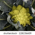 Romanesco cabbage - stock photo