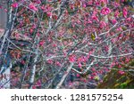 sakura flower background.... | Shutterstock . vector #1281575254