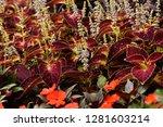 steams of coleus  solenostemon  ... | Shutterstock . vector #1281603214