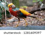 Male Golden Pheasant Or Chinese ...
