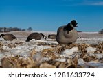 Canadian Geese Decoys Set On...