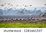 flock of  migrating common... | Shutterstock . vector #1281661537