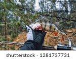 beautiful yellow perch in the... | Shutterstock . vector #1281737731