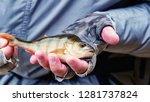 beautiful yellow perch in the... | Shutterstock . vector #1281737824