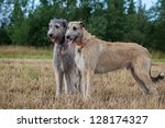 Two Irish Wolfhounds Dogs At...