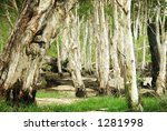 Group Of Paperbark Trees In Th...