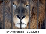 Male Lion Looking Through Zoo...
