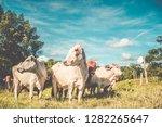 beautiful cattle standing in... | Shutterstock . vector #1282265647