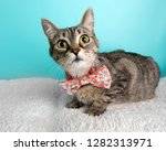Cute Tabby Cat Wearing Bow Tie