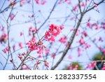 sakura flower background.... | Shutterstock . vector #1282337554
