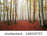 Beautiful Beech Forest With Fog