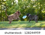 Two Labrador Retrievers Playin...