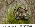 Stock photo owls in a tree trunk three little owls in the hollow of a tree little owl is the name of the 1282478044