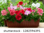 colorful petunia flowers in a... | Shutterstock . vector #1282596391