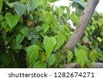 nature in green trees   Shutterstock . vector #1282674271