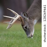 Whitetail Buck Deer Stag...
