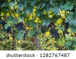czech vineyards from moravia as ... | Shutterstock . vector #1282767487