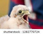 cute little young kestrel... | Shutterstock . vector #1282770724