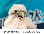 cute little young kestrel... | Shutterstock . vector #1282770727