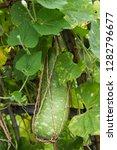 long tracery bottle gourd...   Shutterstock . vector #1282796677